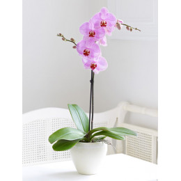 Orchid Phalaenopsis 1 branch