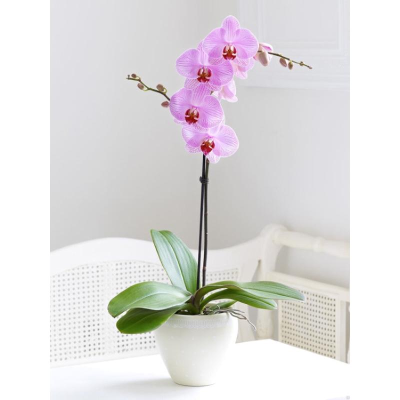 Orchid Phalaenopsis 1 branch