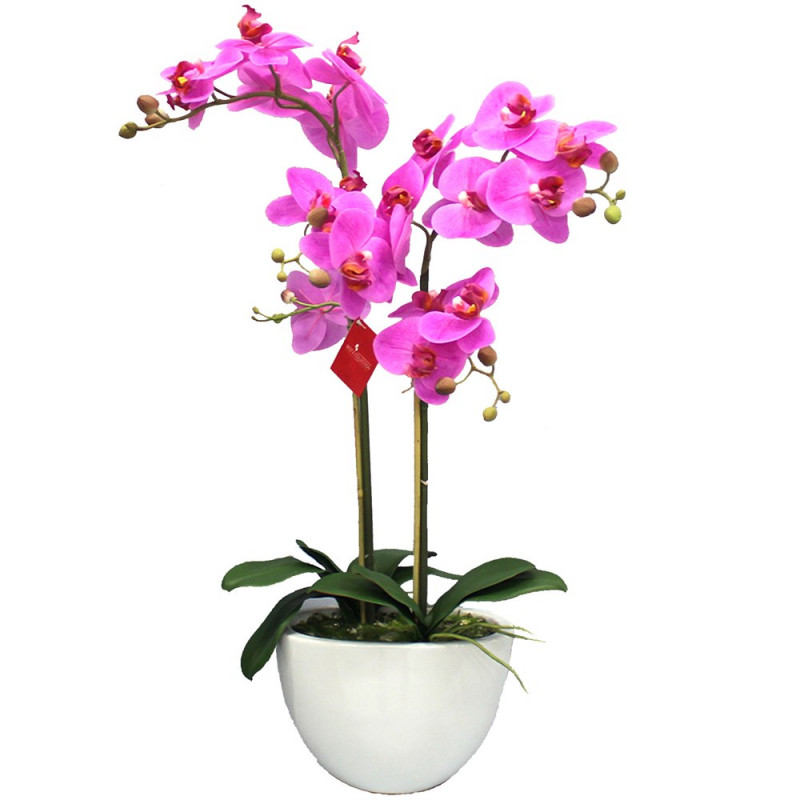 Orchid Phalaenopsis 2 branches